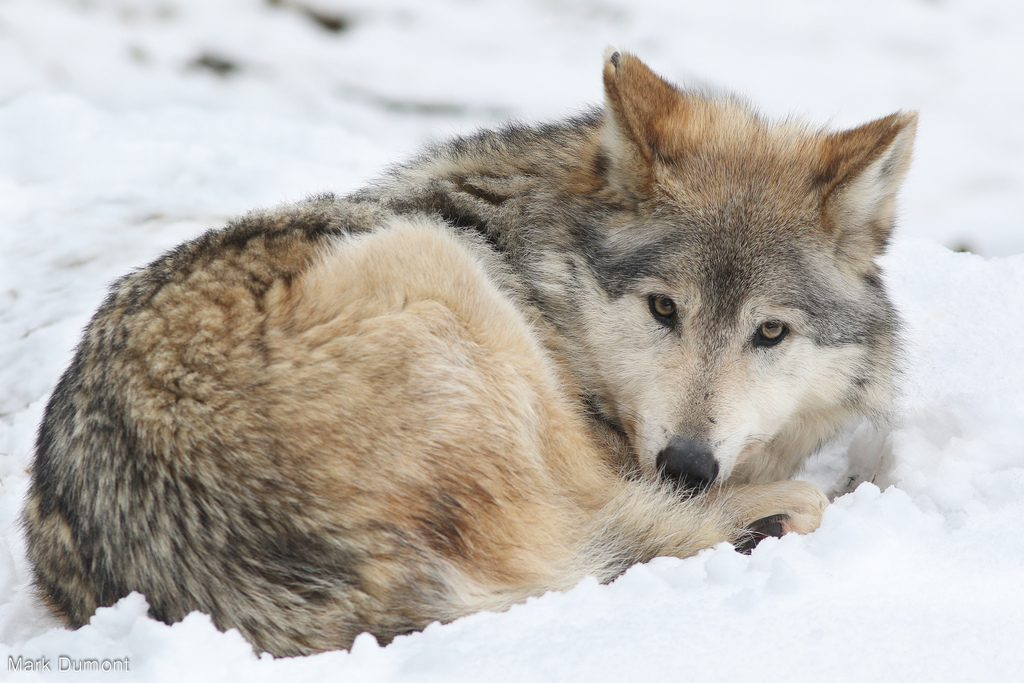 photo credit: Wolf Laying in Snow via photopin (license)